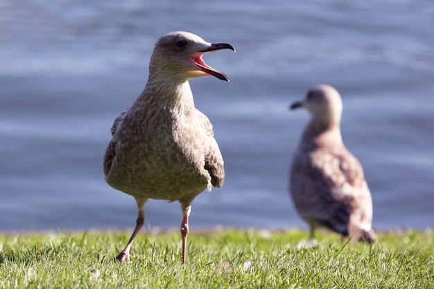 Кричащая чайка на зеленой траве
