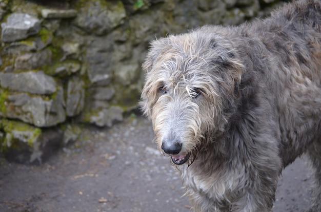 Грязный серый ирландский волкодав стоит у замка в ирландии.