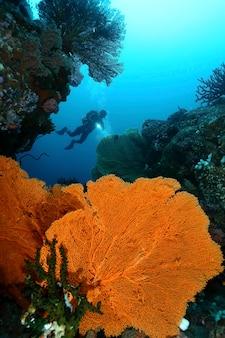 Подводные дайверы плавают над большим горгонажем. бэйте токонг. pulau weh, банда ачех индонезия