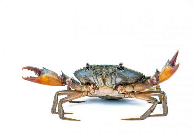 Scylla serrata. mud crab isolated on white background with copy space