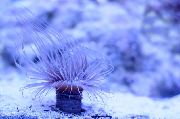 Sea anemone in a dark blue water of aquarium.