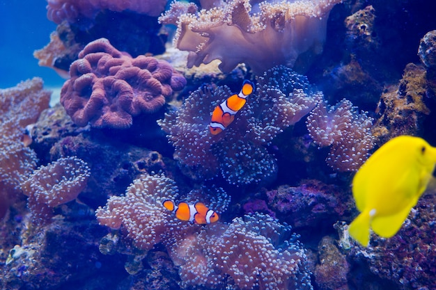Sea anemone with clown fish