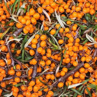 Sea buckthorn berryes. harvest. toned