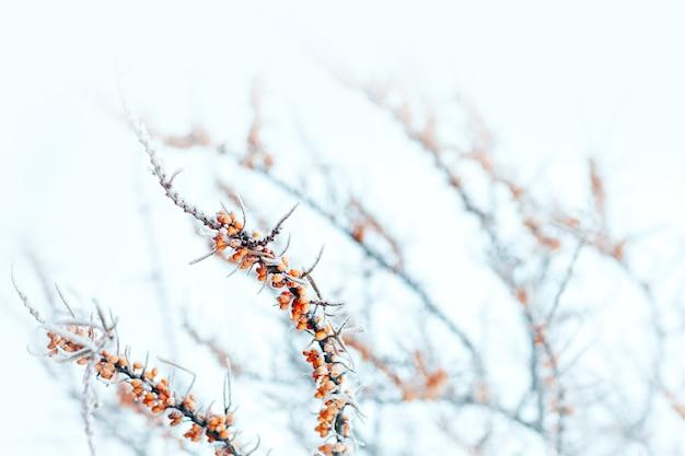Ветка облепихи с оранжевыми ягодами на морозе
