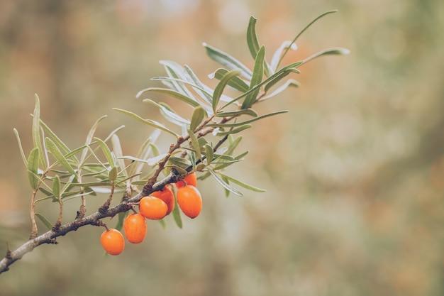 Облепиха, растущая на дереве в осенней природе