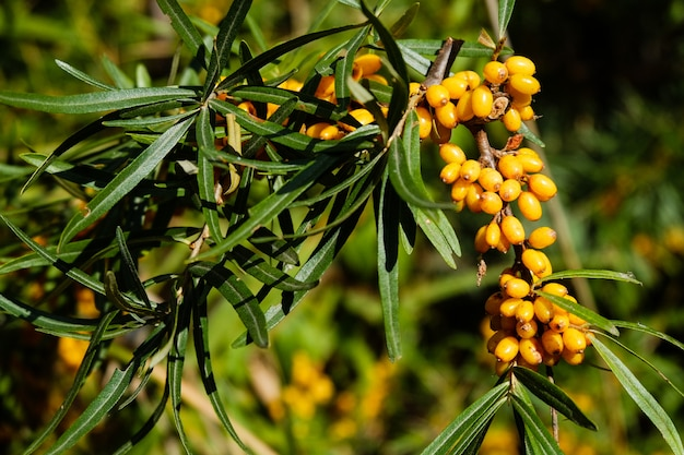 Sea-buckthorn on the tree. sea buckthorn plants are incredibly important natural resources
