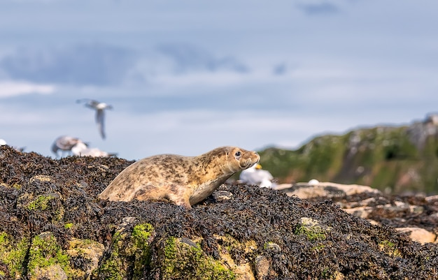 Sea calf baby relaxing at the beach of north sea near bass rock in scotland. uk