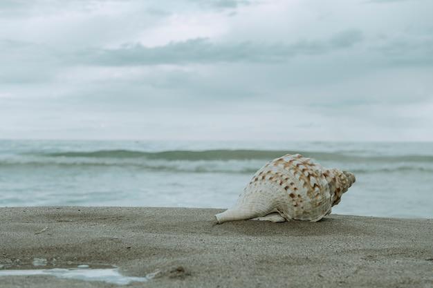 Sea conch on the shore of the beach
