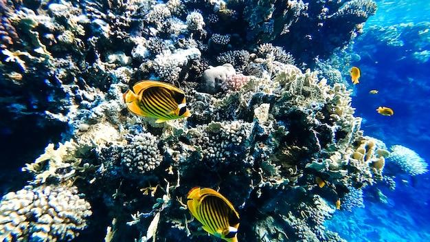 열대어가 헤엄치는 홍해의 바다 산호.