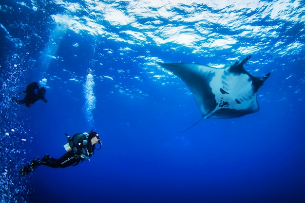 Sea of cortez, mexico, feb 2017: elegant manta ray floats under water. giant ocean stingray feeds on plankton. marine life underwater in blue ocean. observation of animal world. scuba diving adventure