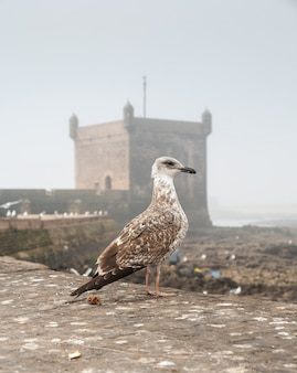 Sea gull on the old fortress