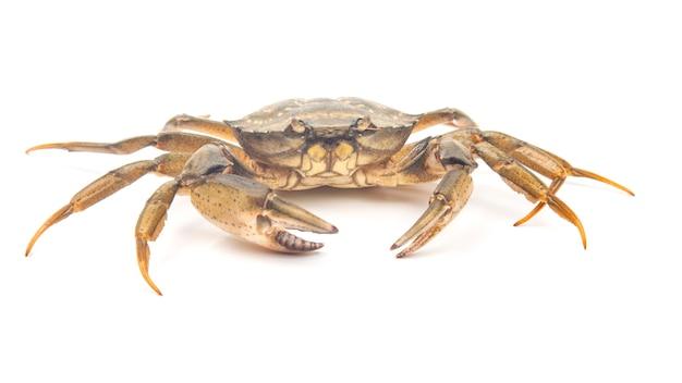 Sea herbal arthropod crab on a white