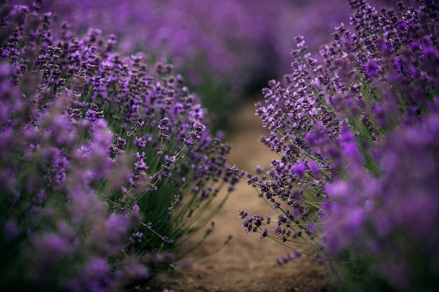 Sea of lavender flowers focused on one in the foreground.