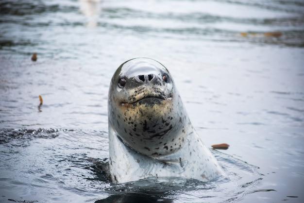 Sea leopard watching in water diving