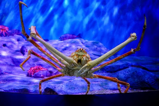 Sea life, close up shot on the giant crab with rock and plant