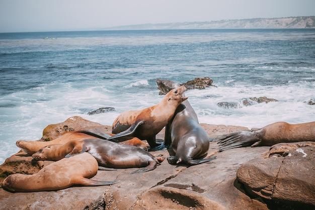 ビーチに横たわっているアシカ家族。かわいい愛らしい動物。アメリカの動物と野生生物の性質。