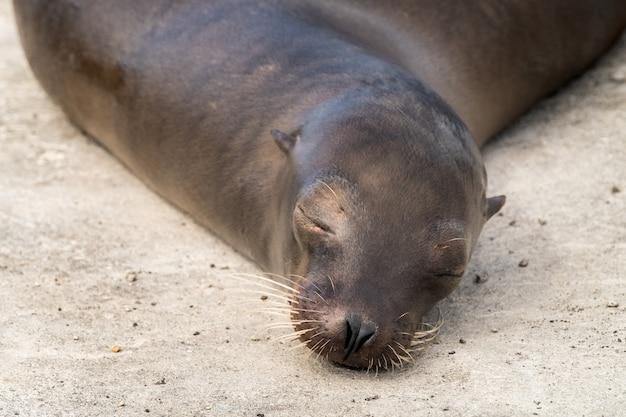 Leone di mare alle isole galapagos