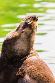 Морской лев, лежащий на солнце на берегу моря