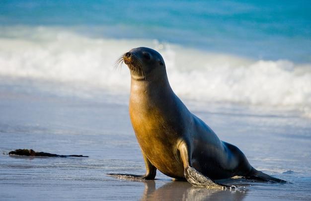 海岸の砂の上のアシカ
