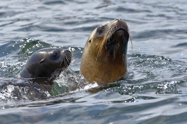 Морской лев (otaria flavescens)