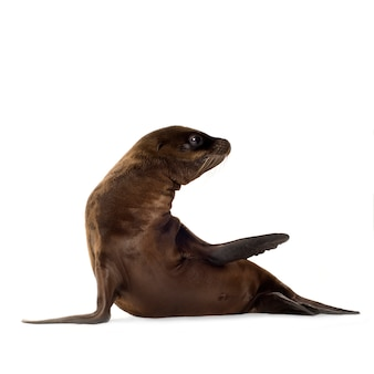 Sea-lion pup (3 months) on white