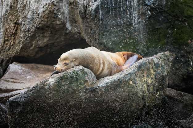 Sea lion relaxing on a stone in monterey, california