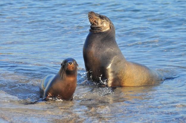 Sea lion in the sea