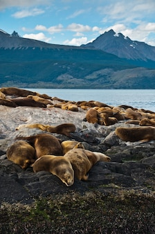 Морские львы и тюлени в скале, патагония аргентина