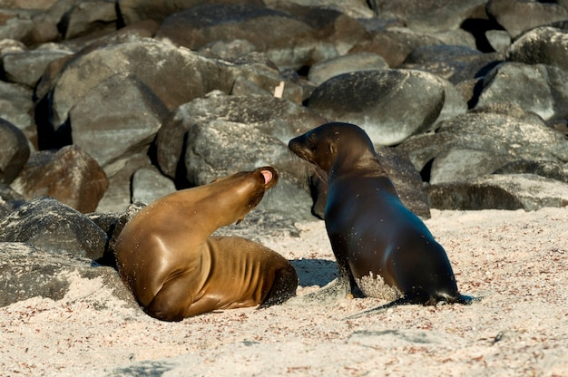 Sea lions on the beach, punta suarez, espanola island, galapagos islands, ecuador