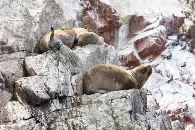 ペルーのバジェスタス島のペルー沿岸で岩を求めて戦うアシカ