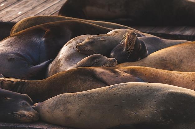 Морские львы на пирсе 39, сан-франциско, штат калифорния