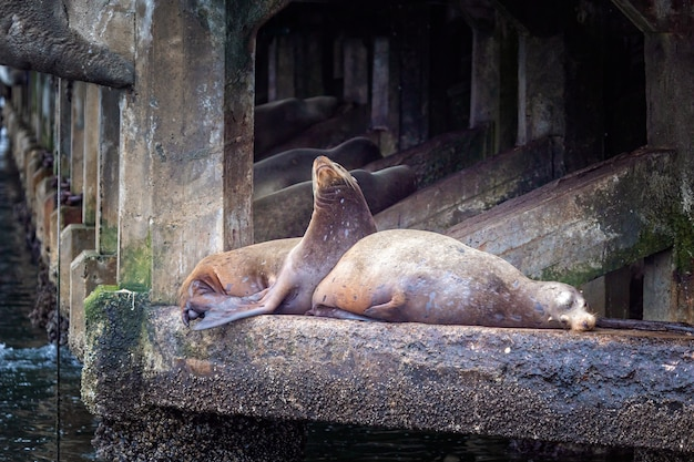 Sea lions relaxing on a stone in monterey, california