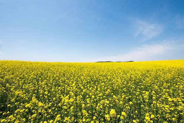 The sea of rape blossoms