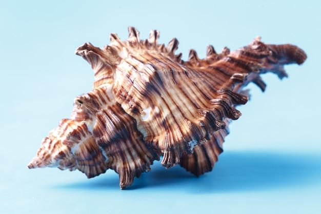 Морская ракушка крупным планом на синем