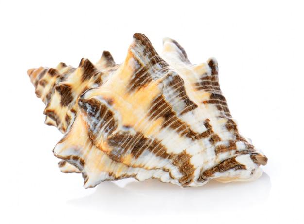 Морская раковина на белом фоне