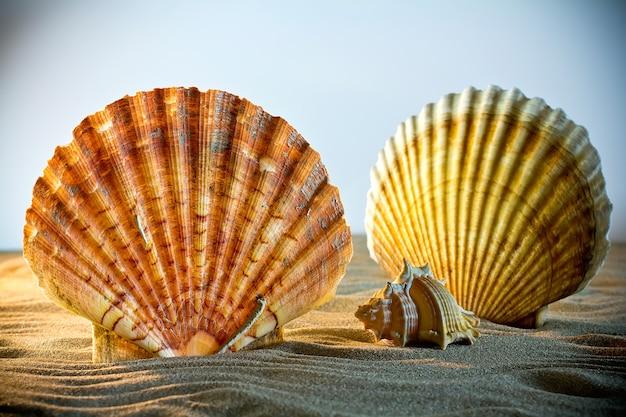 貝殻貝殻、ビーチからの貝殻-パノラマ-大きなホタテ貝殻。