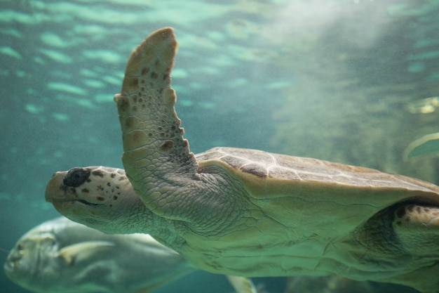 Sea turtle close up in the salty water of an aquarium