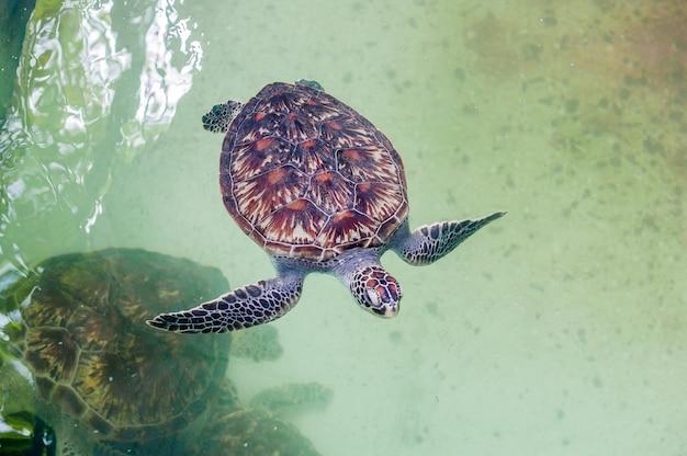 Sea turtle swims in the aquarium