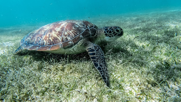 Sea turtle swims in sea water