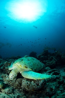 Sea turtle on a tropical coral reef