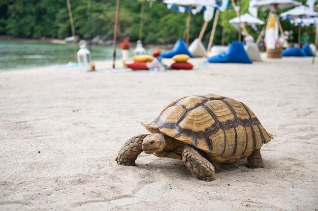 Sea turtle walking on white sand beach with beach picnic, phuket