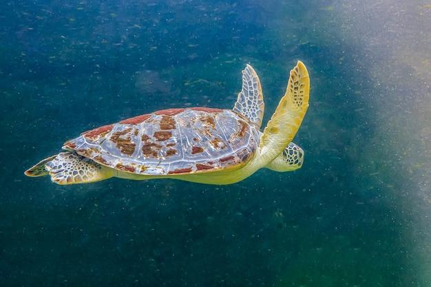 Sea turtles in an aquarium are swimming