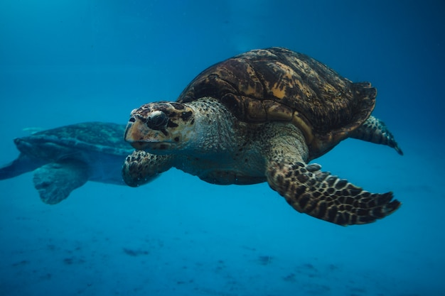 Sea turtles swimming
