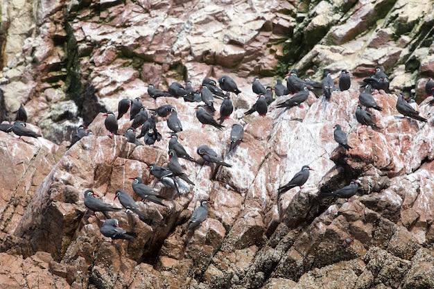 Seabirds on the rockface in the ballestas island, natural park. peru