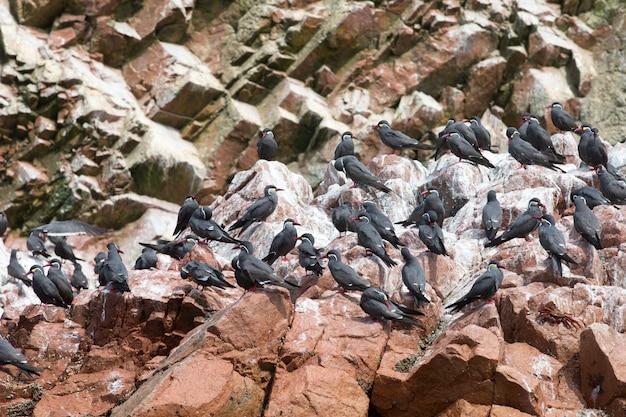 Seabirds on the rockface in the ballestas island, natural park.