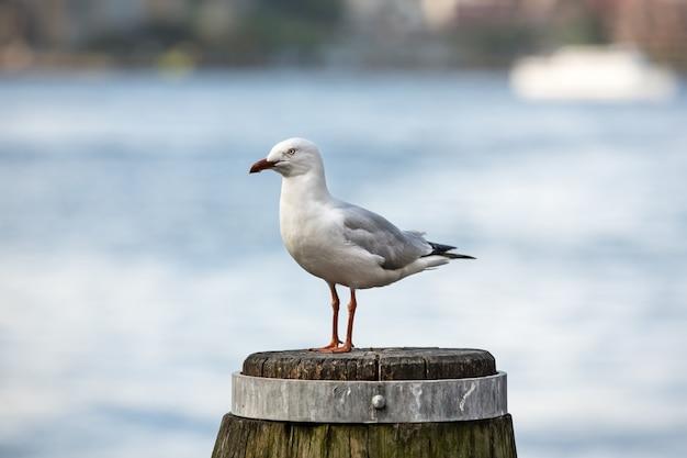Чайка в гавани сиднея