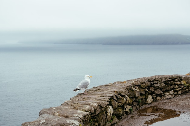 Seagull on the background of the ocean and rocks, ring kerry ireland