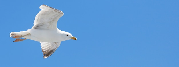 Seagull backlit by the sun flies