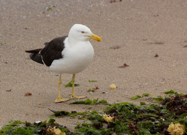 Seagull on the beach with kelps at punta del este, uruguay