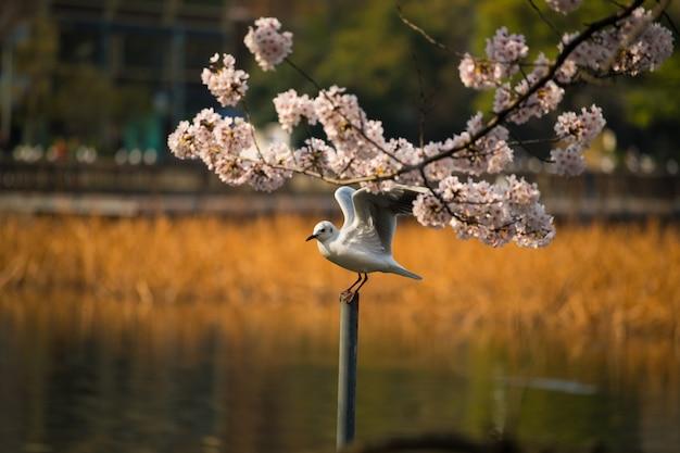 カモメ、桜、桜